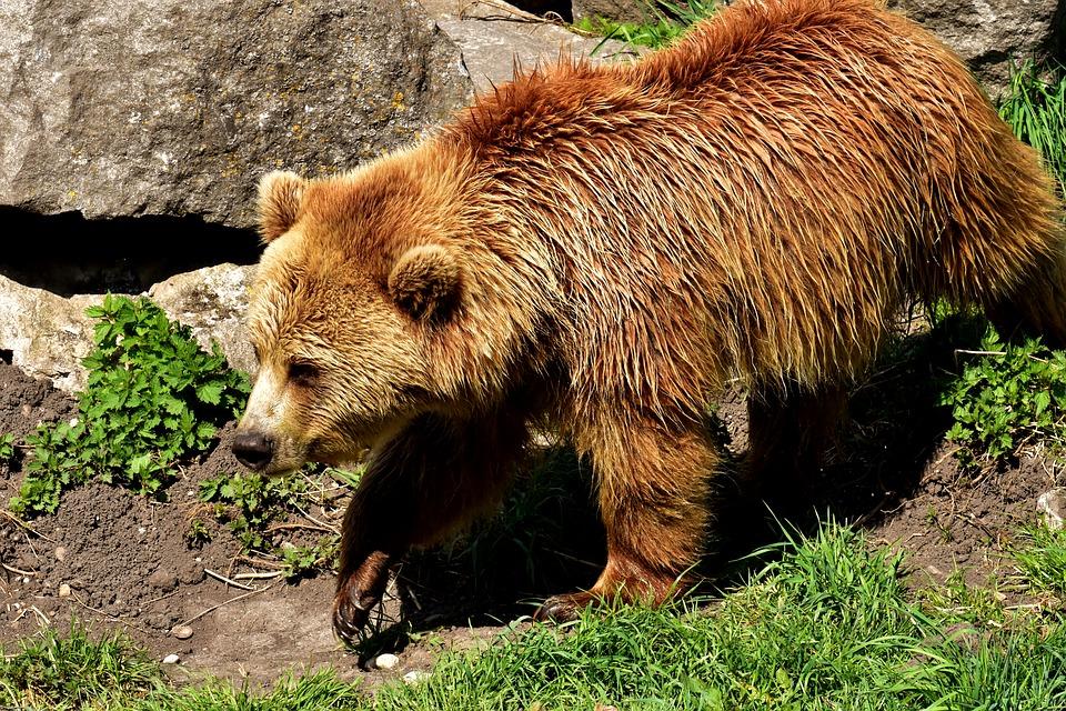 BIESZCZADY: Mała bójka niedźwiedziego rodzeństwa - Zdjęcie główne