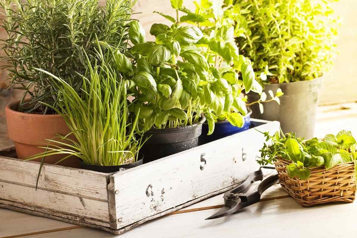 Świeże zioła prosto z doniczki. Domowa uprawa jest prostsza, niż się wydaje - Zdjęcie główne