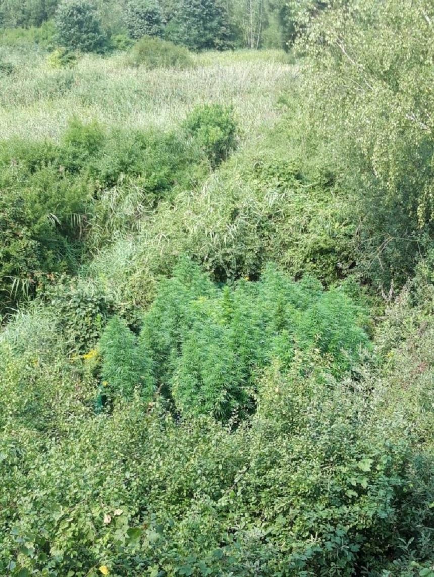 Mielec: Policja odkryła plantację konopi - Zdjęcie główne