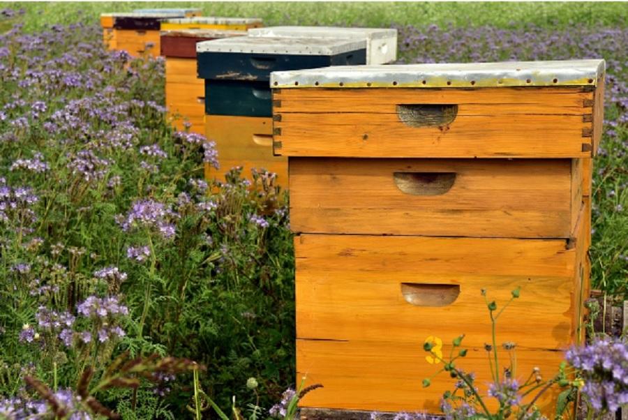 W Polsce przybywa pszczół i pszczelarzy amatorów. Rośnie również spożycie miodu - Zdjęcie główne