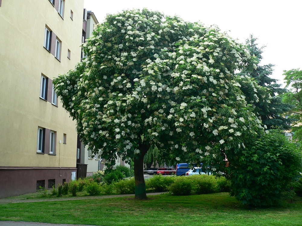 Rzeszowski bez najpiękniejszym drzewem w Polsce!  - Zdjęcie główne