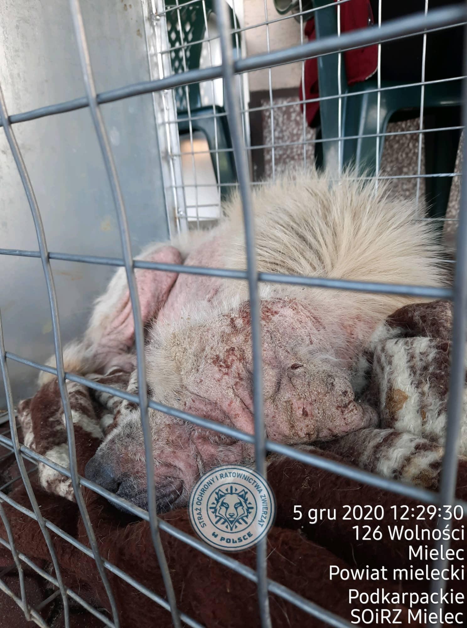 Gremlinek. Pies, który przeżył piekło, potrzebuje naszej pomocy - Zdjęcie główne