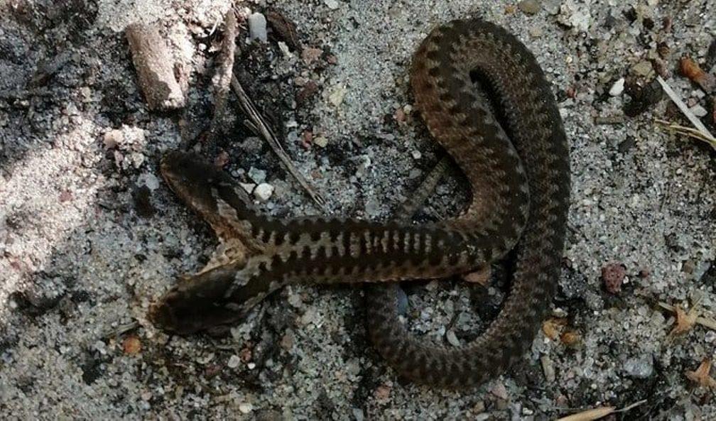 NIESAMOWITE! Dwugłowa żmija zygzakowata w lesie [FOTO] - Zdjęcie główne