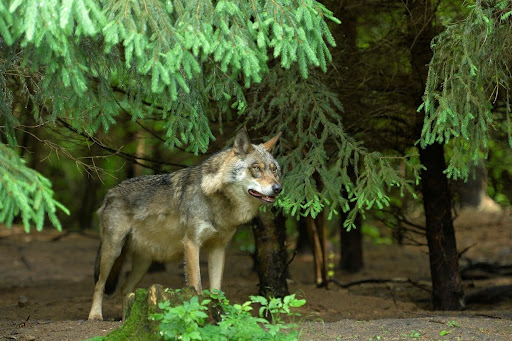Podkarpacie: Wataha wilków widziana w pobliżu powiatu mieleckiego! - Zdjęcie główne