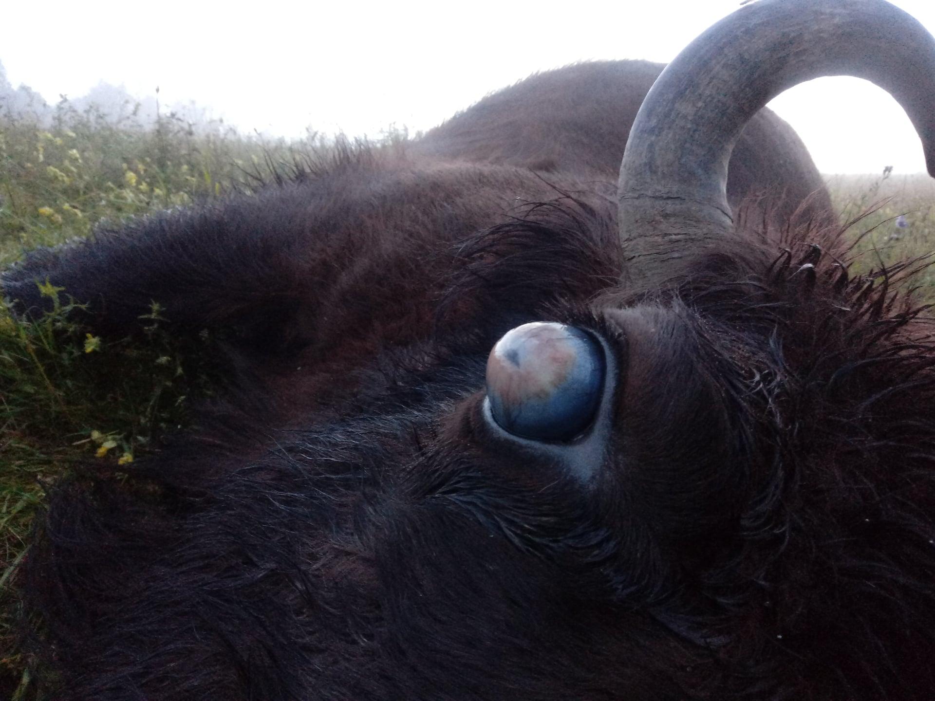 Żubry w Bieszczadach giną przez pasożyty [DRASTYCZNE ZDJĘCIA] - Zdjęcie główne