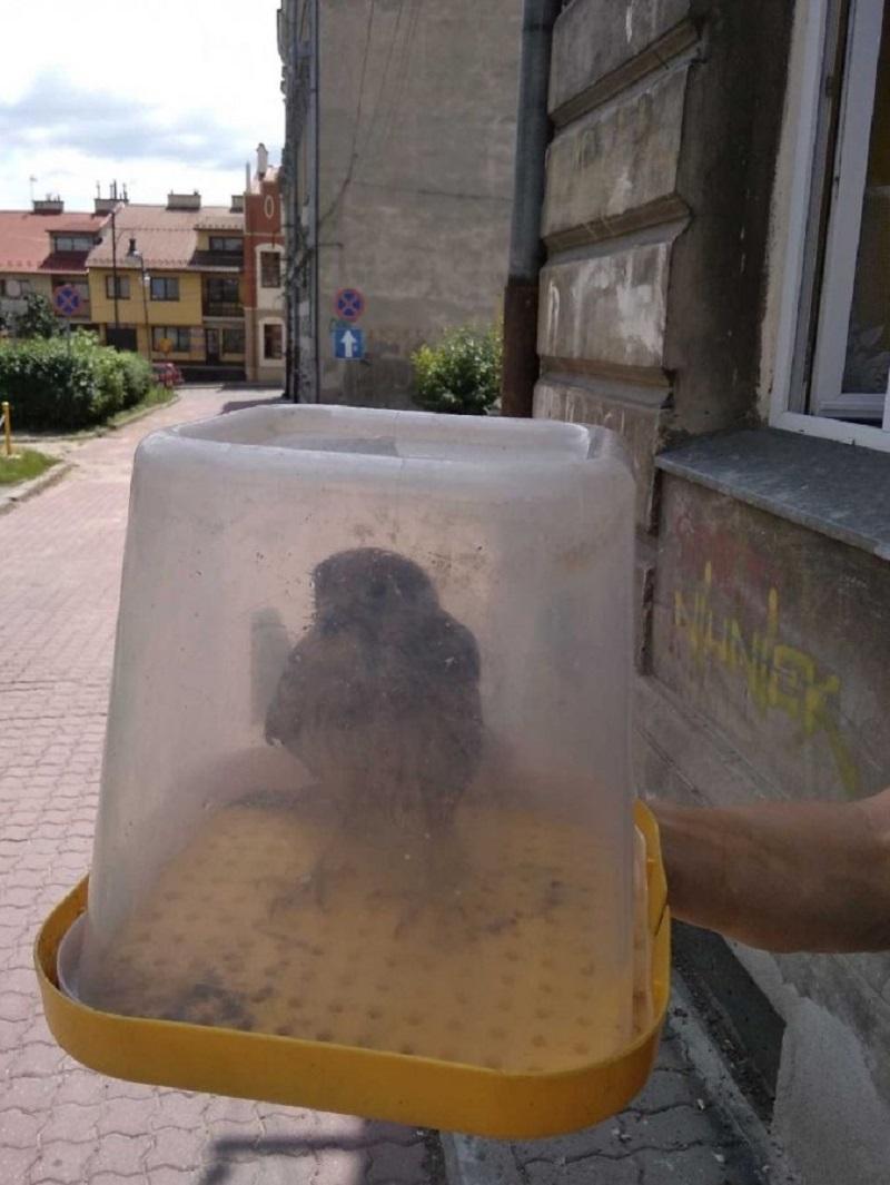 Z Podkarpacia. Młody sokół źle oszacował swoje możliwości i wypadł z gniazda - Zdjęcie główne