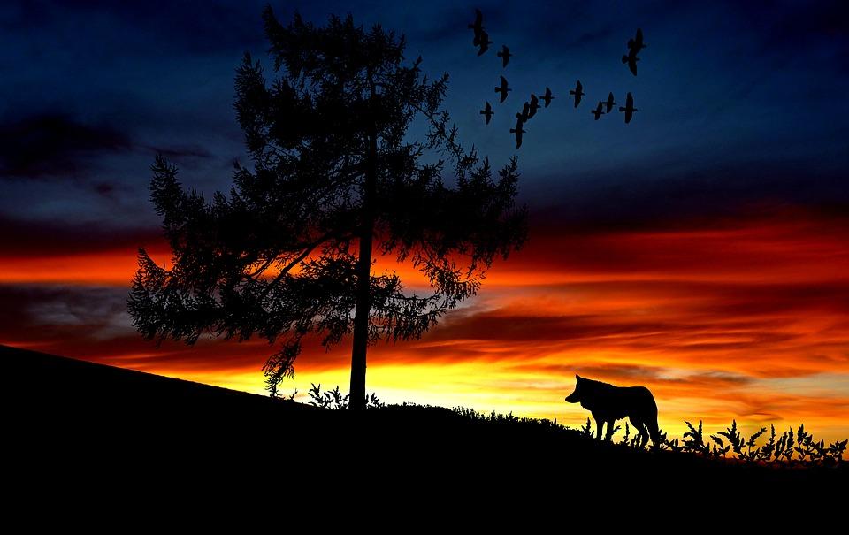 Hybrydy wilka muszą zginąć. Będzie odstrzał w Bieszczadach - Zdjęcie główne