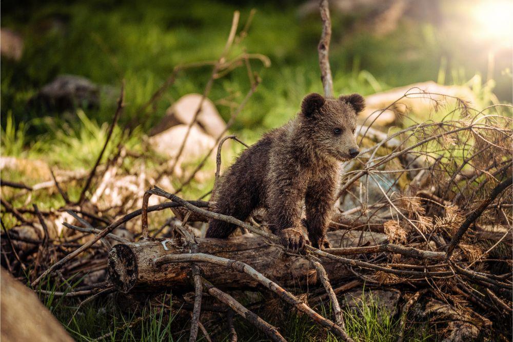 BIESZCZADY: A kuku! Małe niedźwiadki rosną jak na drożdżach - Zdjęcie główne