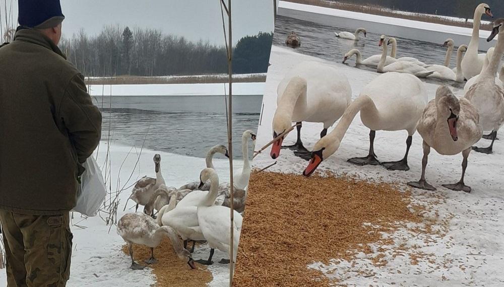 W Wojkowie (gm. Padew Narodowa) zimuje stado łabędzi!  - Zdjęcie główne