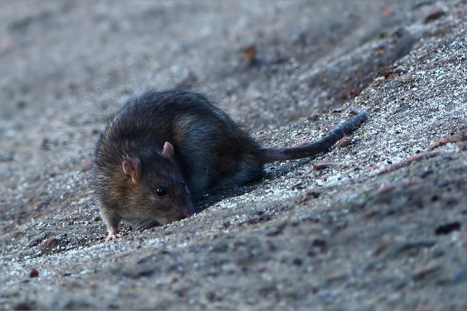 Szczur pogryzł staruszkę w Mielcu! - Zdjęcie główne