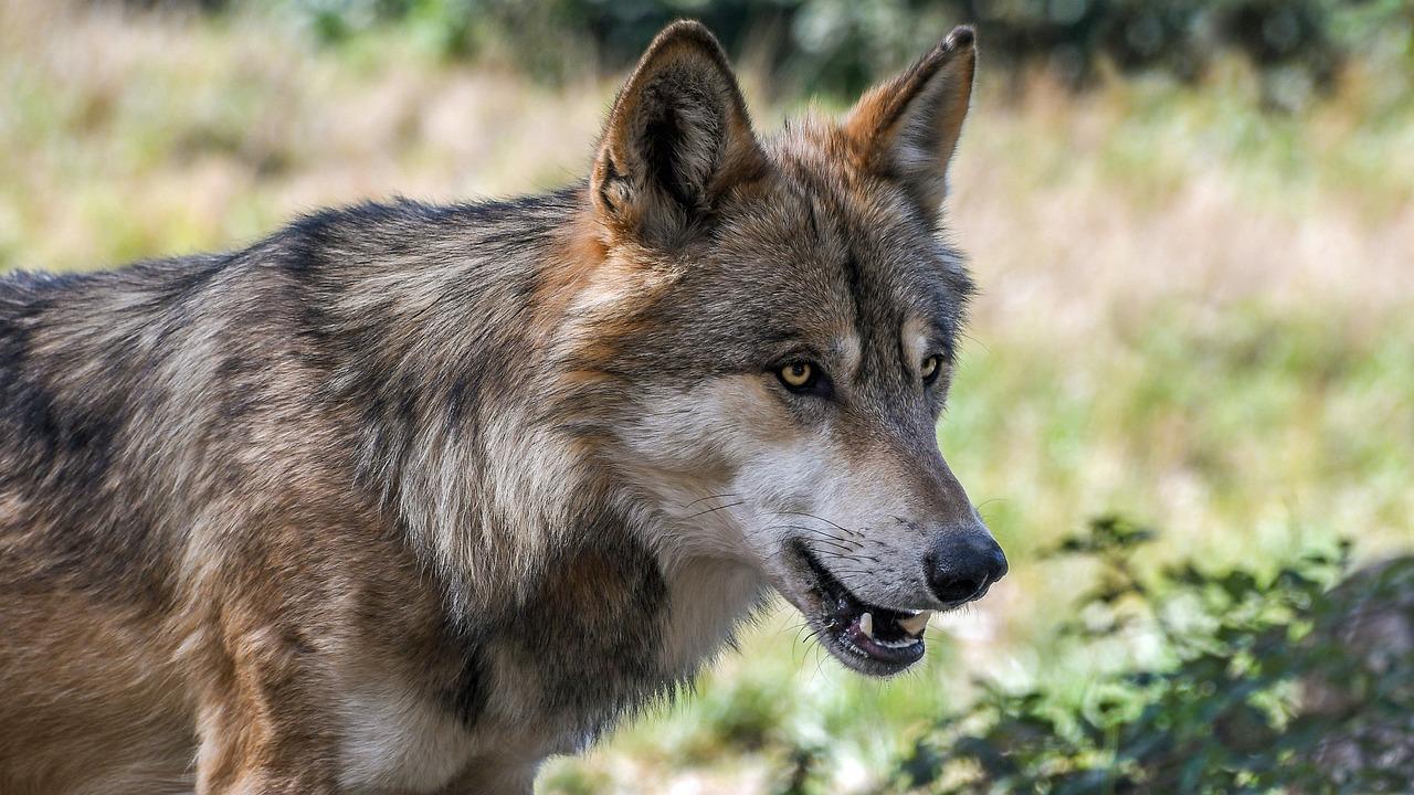 PODKARPACIE: Wilki rozszarpały psa!  - Zdjęcie główne