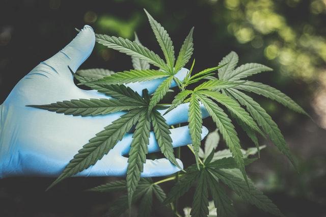 Ustawy konopne w Sejmie. Czy marihuana będzie legalna? - Zdjęcie główne