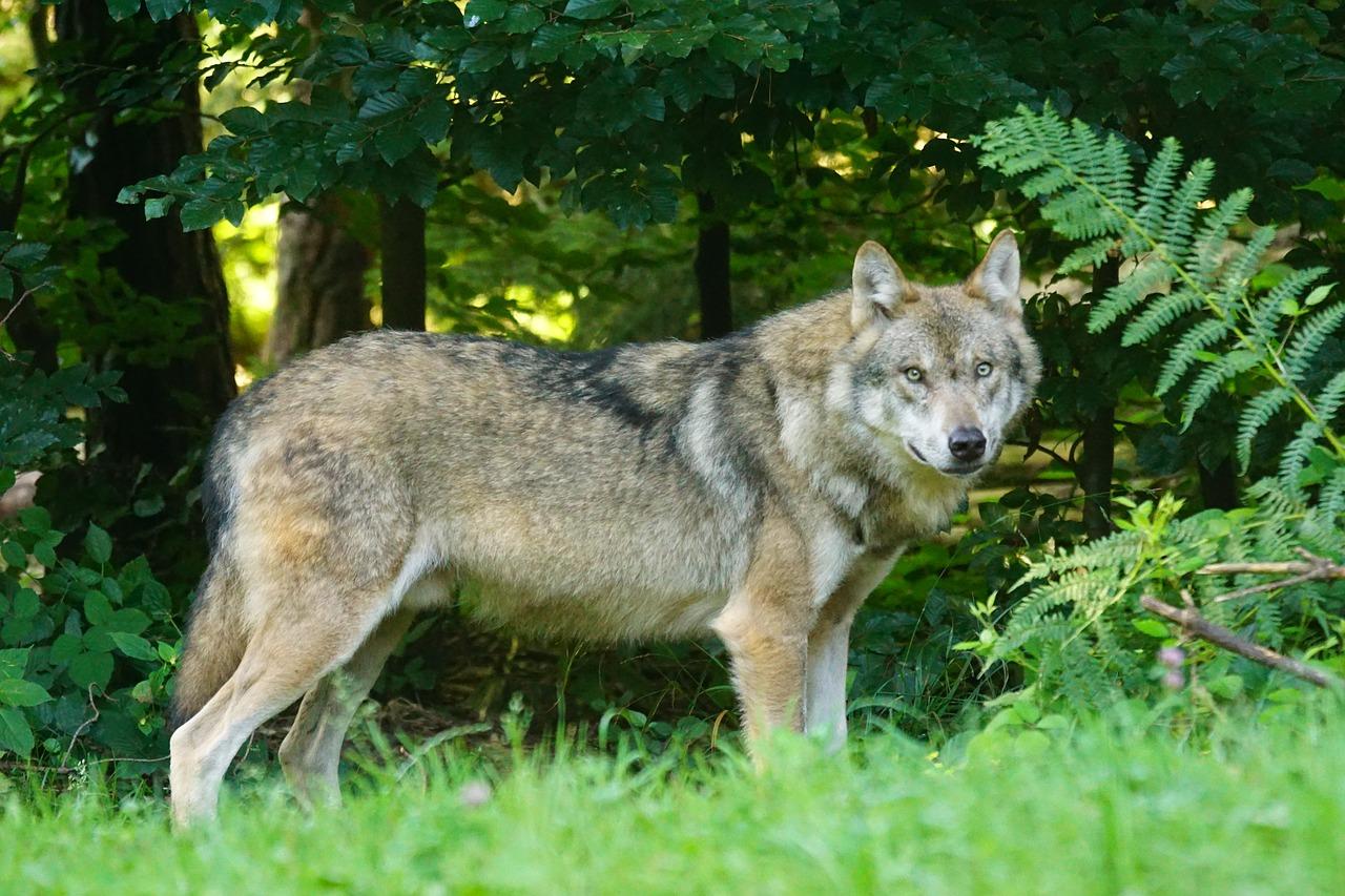 """Odstrzał wilków pod Brzozowem: """"Chodziło też o ochronę czystości gatunku"""" – przekonuje GDOŚ - Zdjęcie główne"""