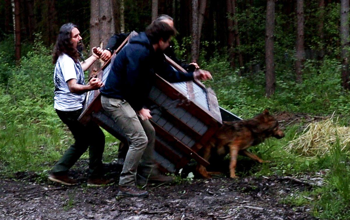Ranny wilk został uratowany! Wolfik wrócił do lasu [ZDJĘCIA, WIDEO] - Zdjęcie główne