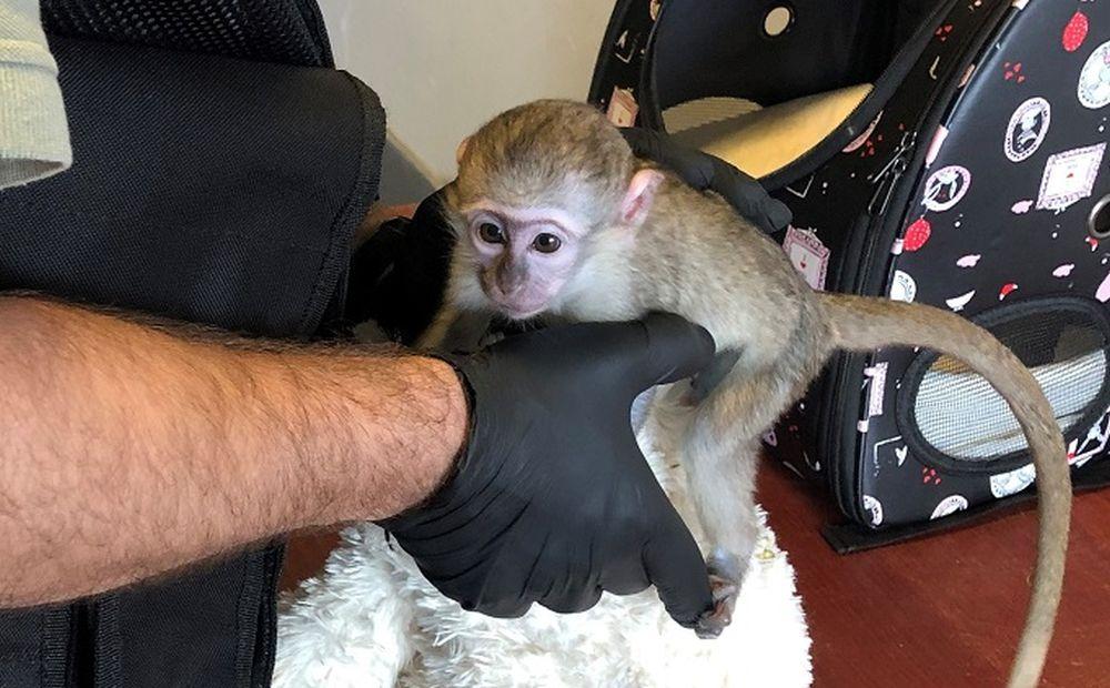 Małpka na granicy. Przemytnik chciał ją sprzedać [ZDJĘCIA, WIDEO] - Zdjęcie główne