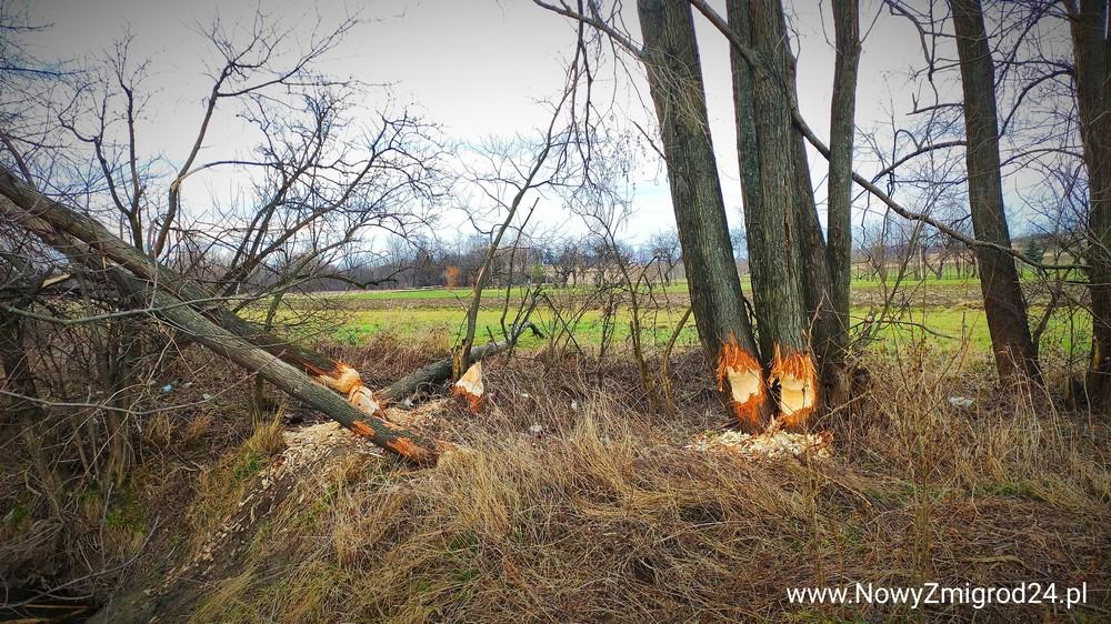 Bobry niszczą drzewa w powiecie jasielskim - Zdjęcie główne