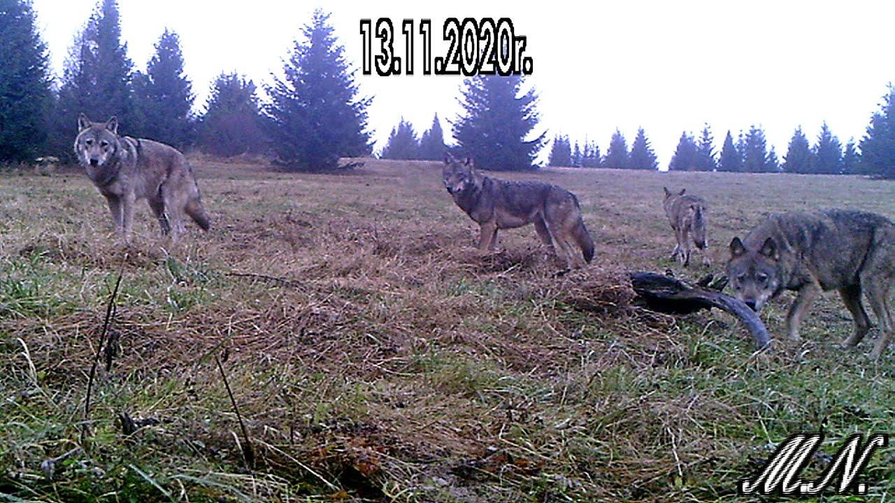 Jest zgoda na odstrzał wilków! Podczas wizji terenowej leśnicy spotkali się z agresywną watahą! - Zdjęcie główne