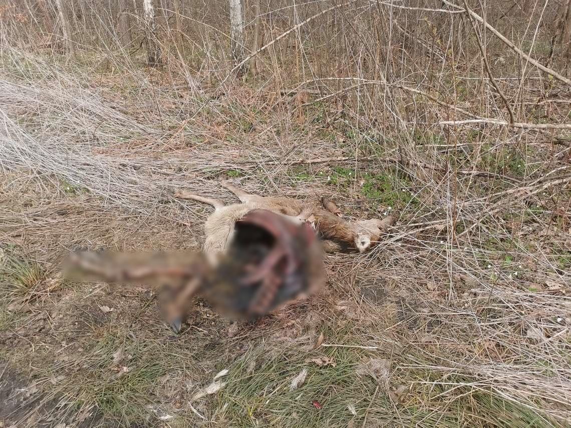 Wilki zostawiły po sobie pamiątkę [DRASTYCZNE ZDJĘCIE] - Zdjęcie główne