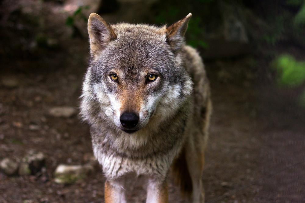 Wilki rozszarpały psa! [DRASTYCZNE ZDJĘCIE] - Zdjęcie główne
