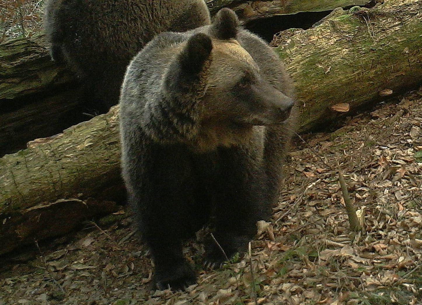 Niedźwiedź maszeruje tą samą ścieżką co turyści - Zdjęcie główne