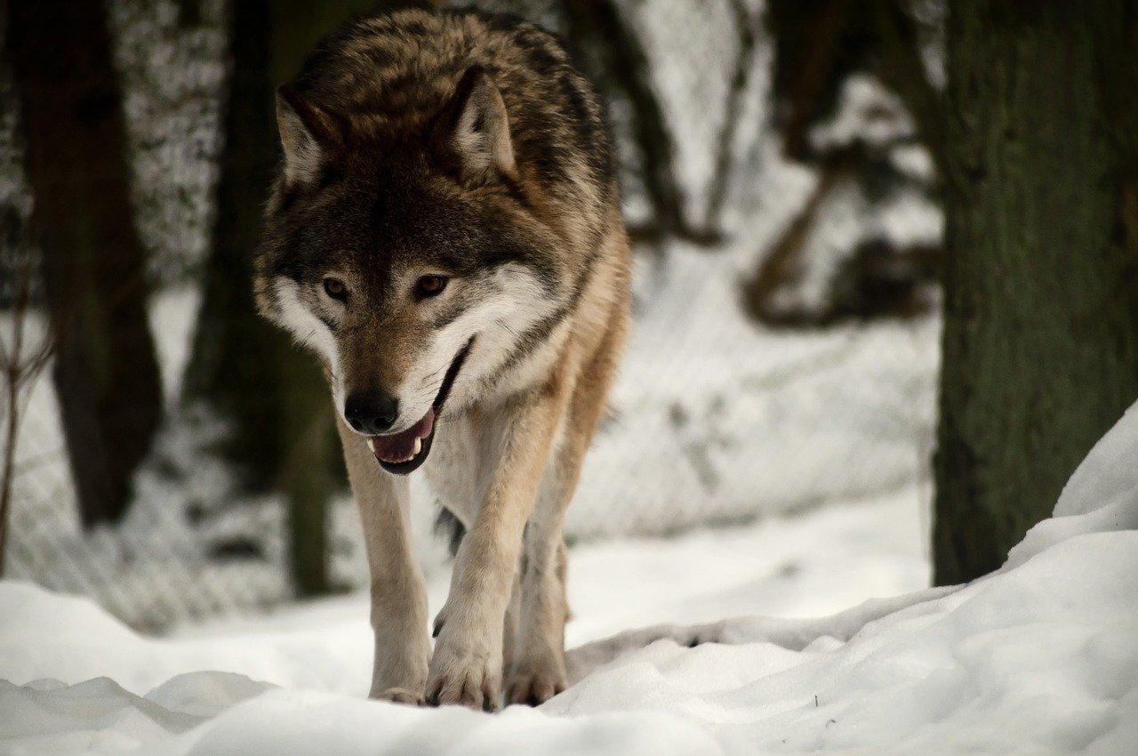 Jest petycja przeciwko odstrzale wilków grasujących pod Brzozowem. Czy ta decyzja była zgodna z prawem? - Zdjęcie główne