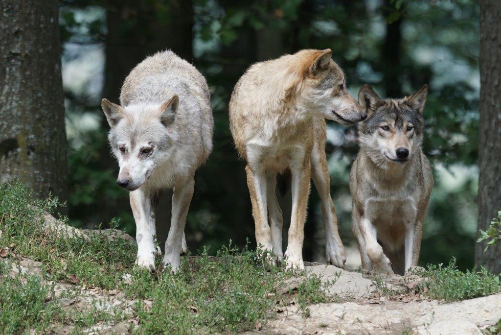 Wilki wśród nas. Dzikie zwierzęta przypominają o sobie [VIDEO] - Zdjęcie główne