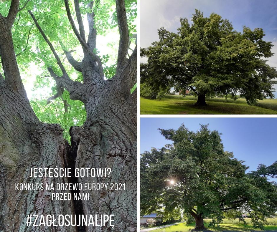 Konkurs na Europejskie Drzewo Roku 2021 rozpoczęty - Zdjęcie główne