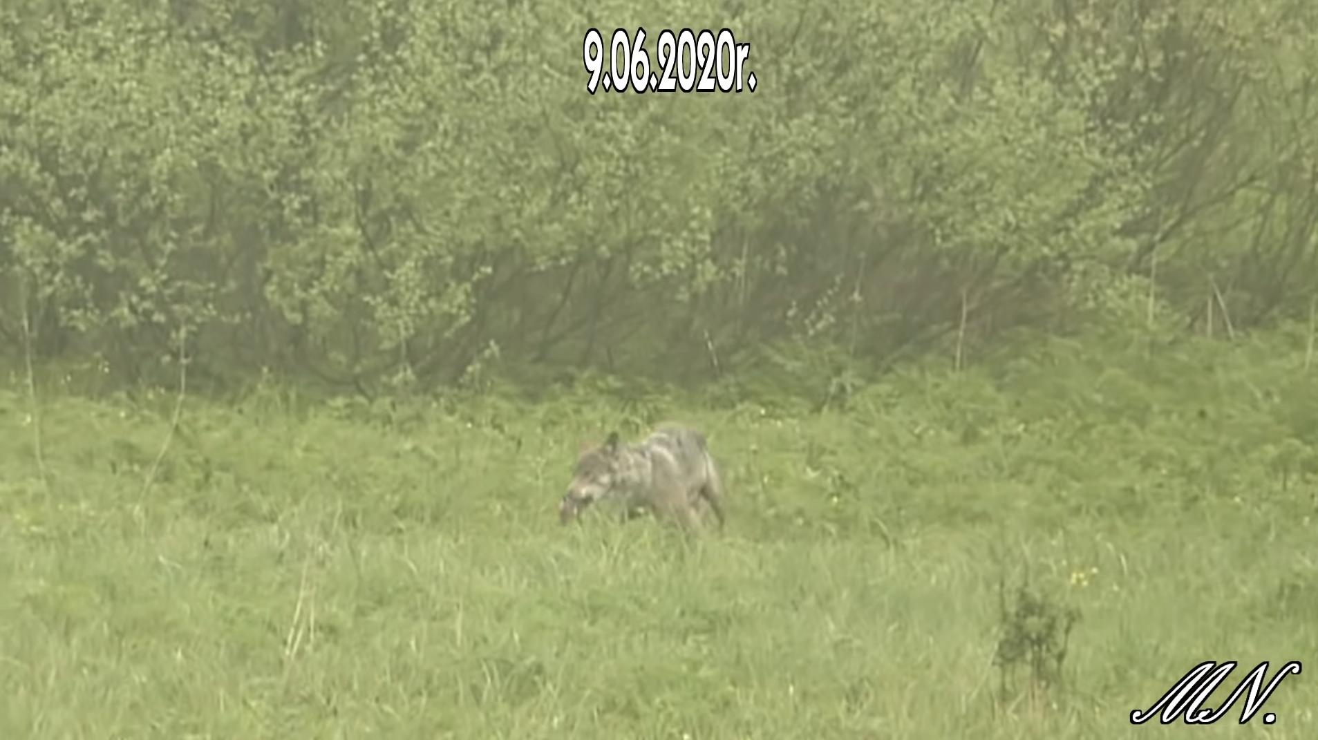Polujący wilk nagrany w Bieszczadach [VIDEO] - Zdjęcie główne