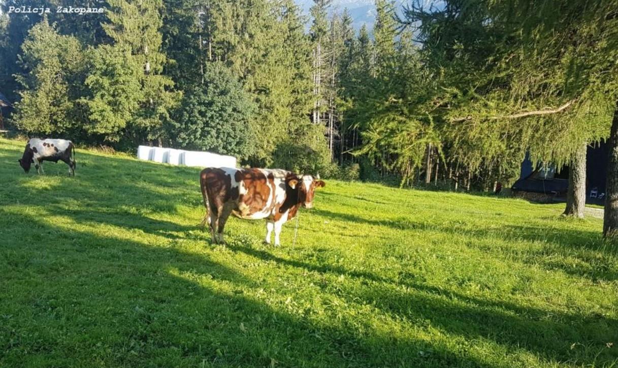 Krowa rogiem zraniła 9-latkę - Zdjęcie główne