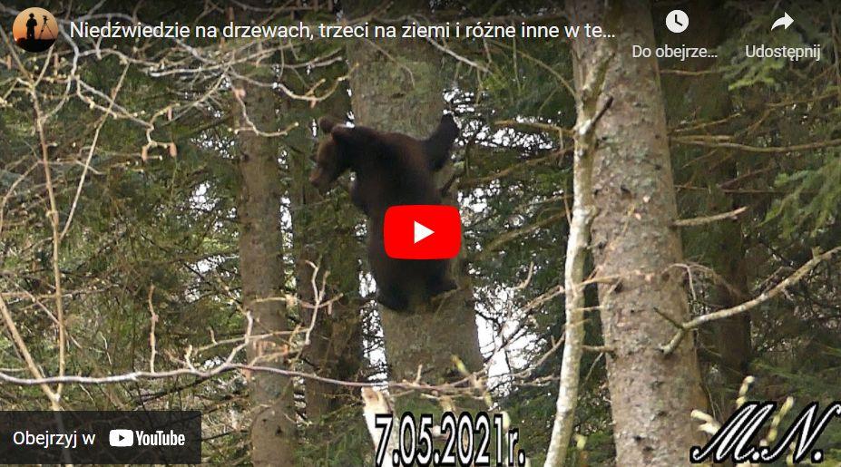 Niedźwiedzie życie w Bieszczadach [ZOBACZ FILM] - Zdjęcie główne
