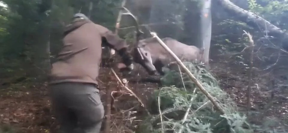 Kłusownicy w bieszczadzkich lasach! Jeleń we wnykach - Zdjęcie główne
