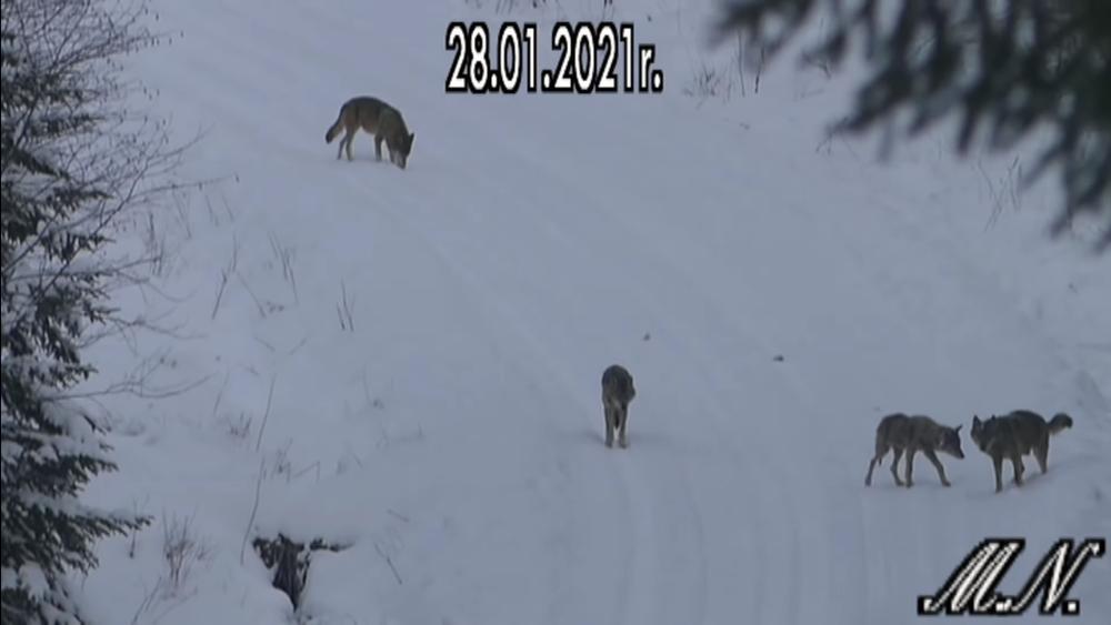 YouTuber nagrał watahę wilków w Bieszczadach [VIDEO] - Zdjęcie główne