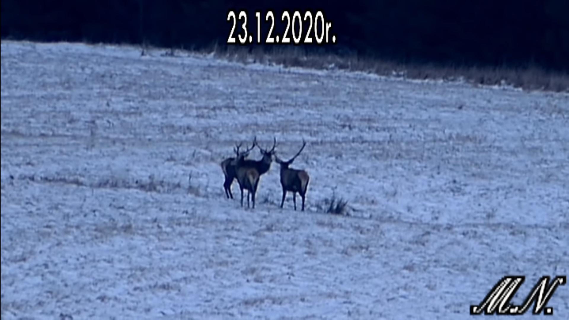 Trzy jelenie spotykają się w Bieszczadach - Zdjęcie główne