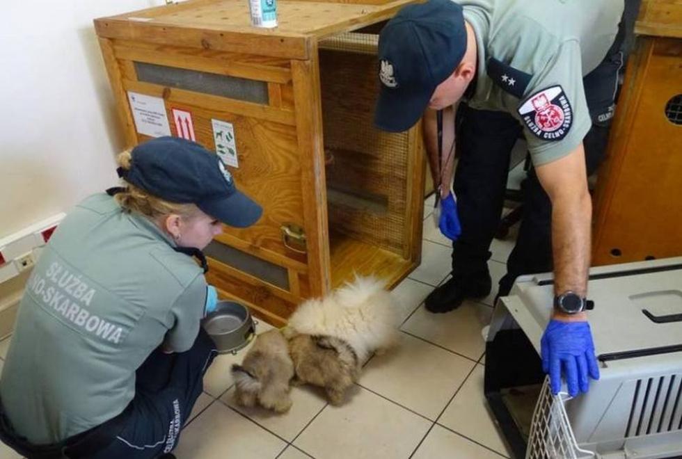 Rasowe psy z fałszywymi dokumentami na Podkarpaciu - Zdjęcie główne