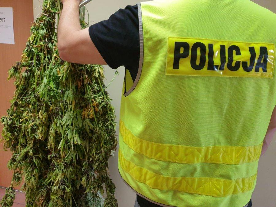 Nielegalna uprawa marihuany w gminie Kolbuszowa  - Zdjęcie główne