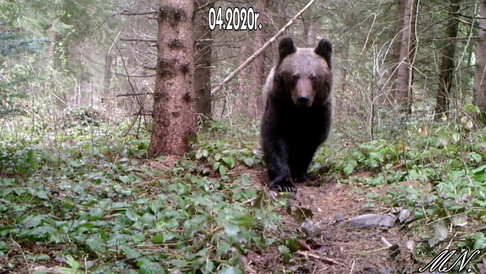 BIESZCZADY. Niedźwiedź, borsuk i wilk nagrane przez bieszczadnika [VIDEO] - Zdjęcie główne