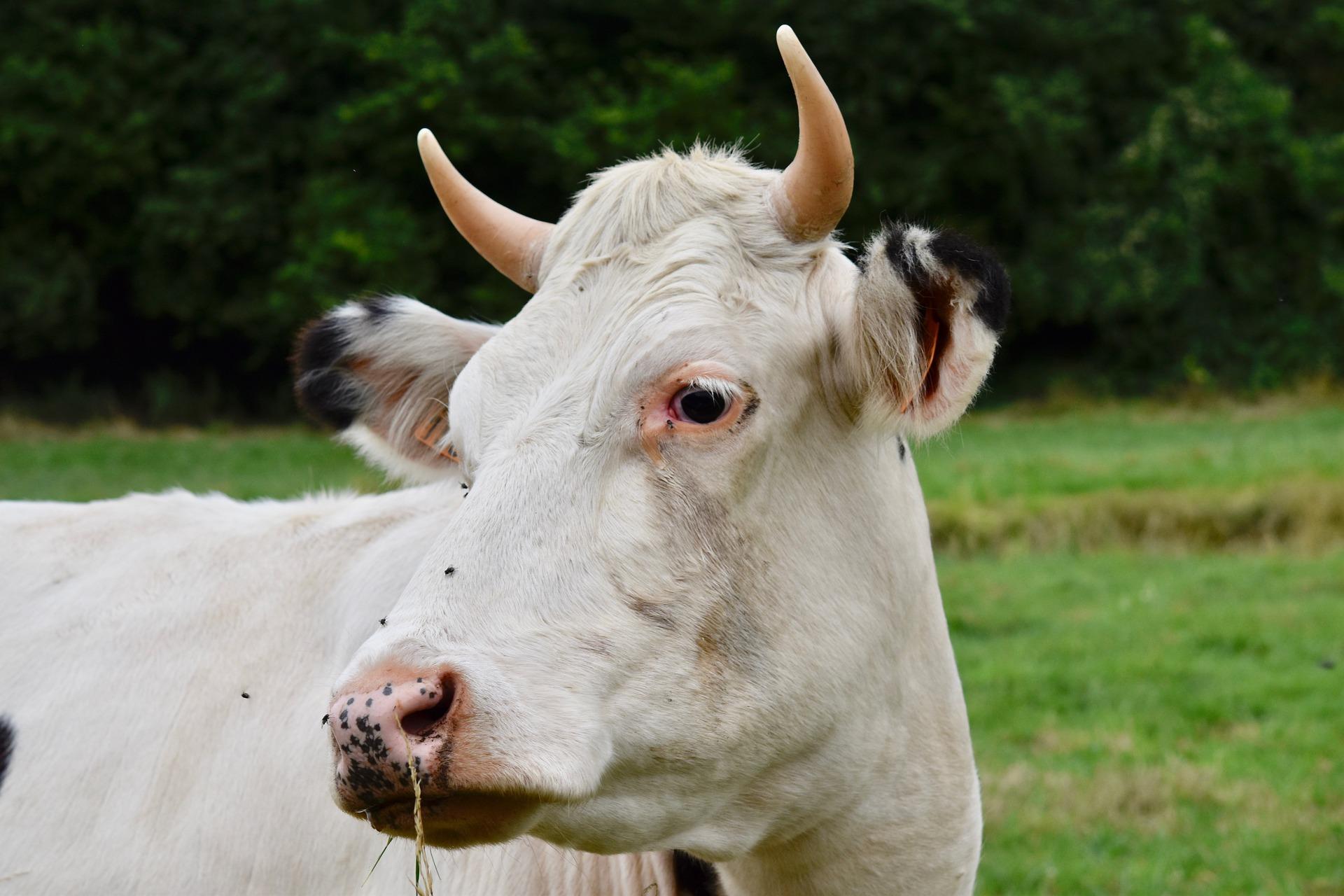 Krów i świń w powiecie kolbuszowskim ubywa  - Zdjęcie główne