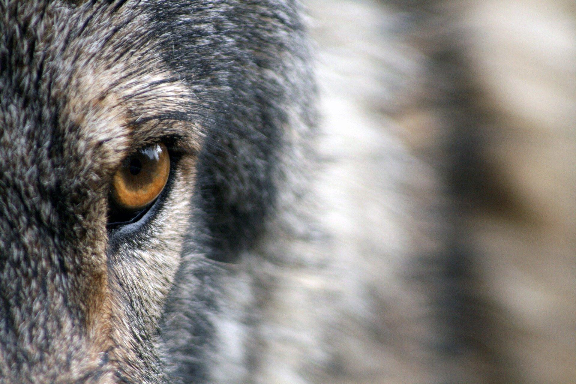 Wójt wydał komunikat dotyczący m.in. wilków. Prosi o ostrożność  - Zdjęcie główne