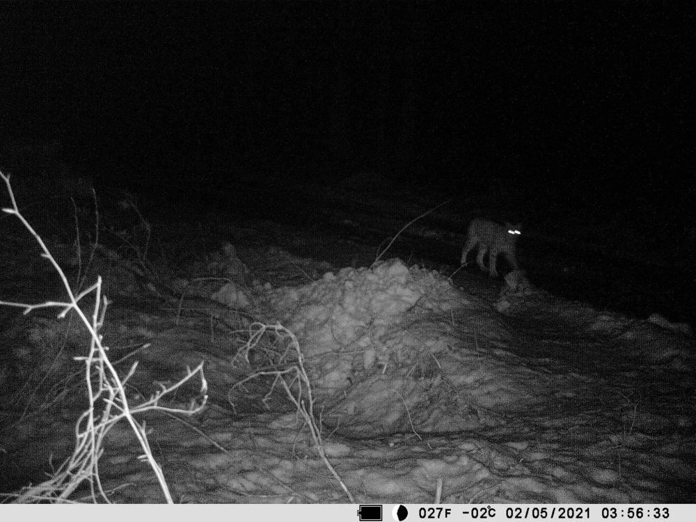 Podkarpacie: Ryś złapany w fotopułapkę. Nigdy ich tutaj nie widziano - Zdjęcie główne