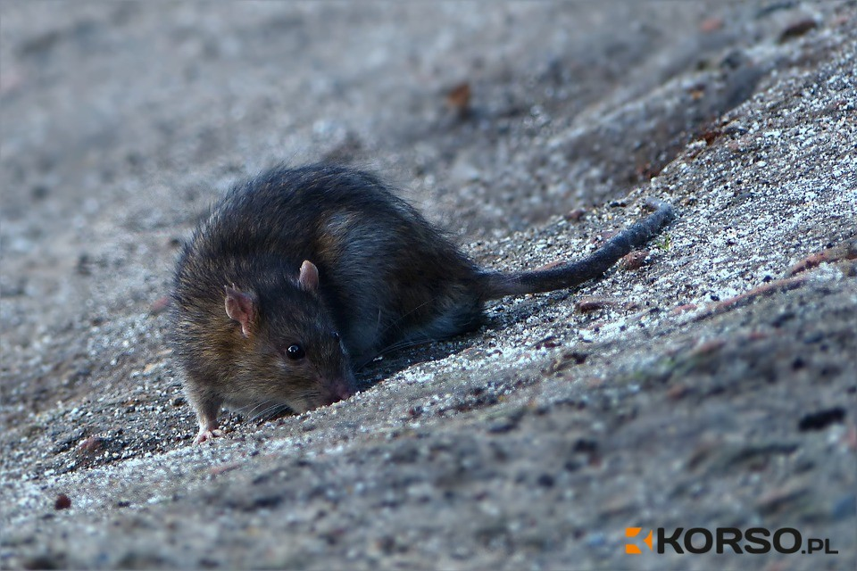 Z REGIONU. Szczur pogyzł staruszkę w Mielcu! - Zdjęcie główne