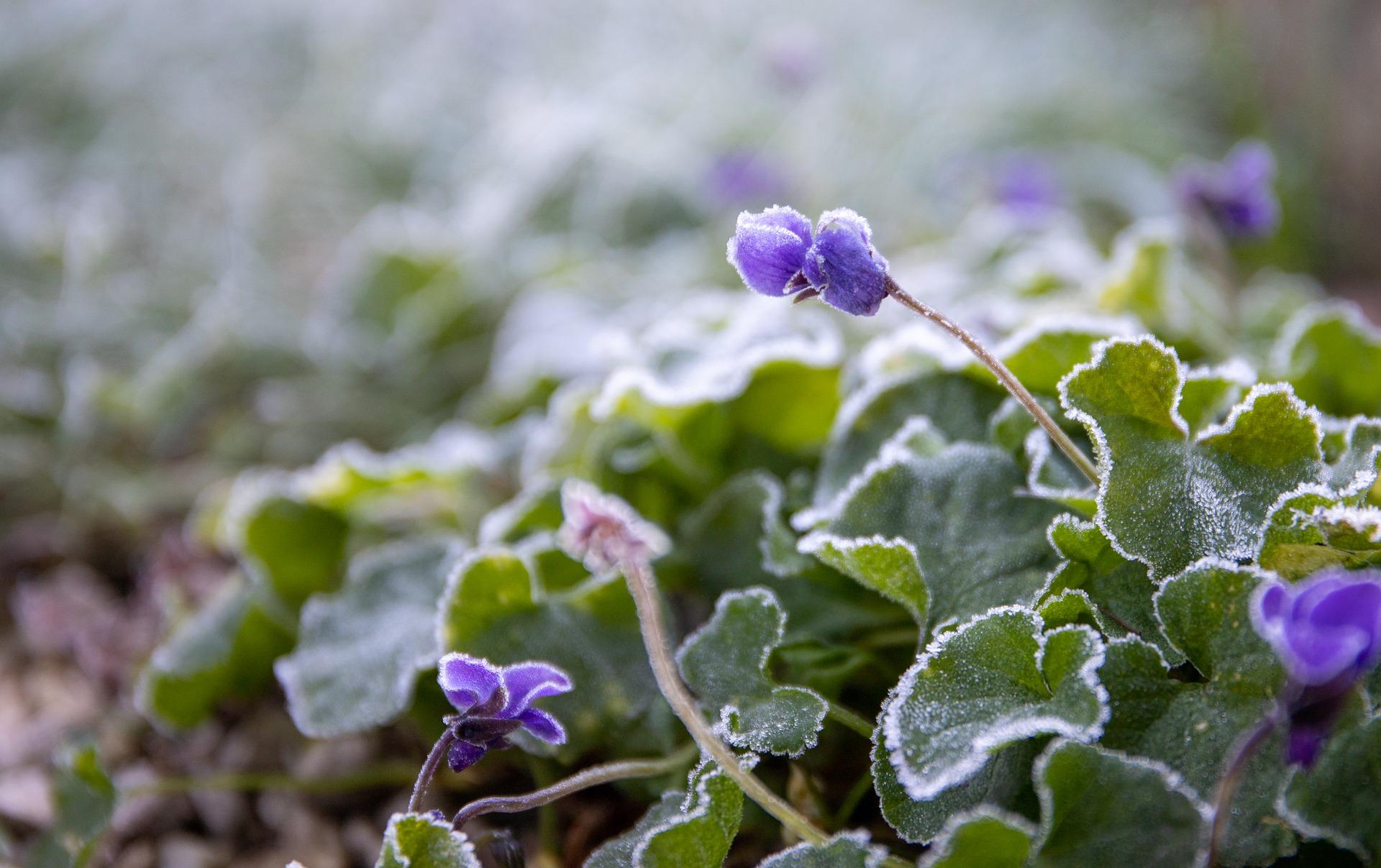 Ostrzeżenie pogodowe. Uważaj na kwiaty i sadzonki! Do kiedy obowiązuje?  - Zdjęcie główne