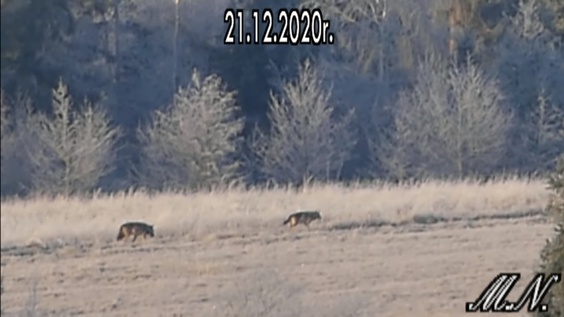 Bieszczadnik nagrał watahę wilków na drodze - Zdjęcie główne