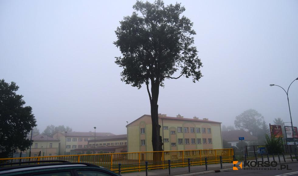 Kolbuszowa. Samorząd ogłosił przetarg na sprzedaż czterech drzew. Wśród nich jest pomnik przyrody  - Zdjęcie główne