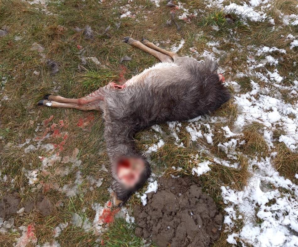 Wilki pod domami w Dzikowcu. Zagryzły sarnę [FILM - DRASTYCZNE ZDJĘCIA] - Zdjęcie główne