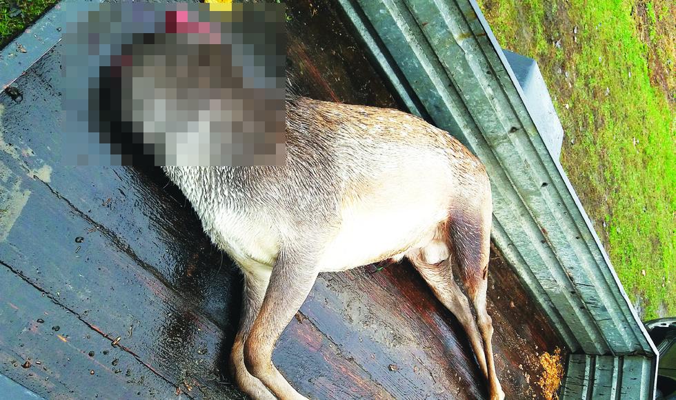 W Komorowie ktoś kradnie i zabija daniele - Zdjęcie główne