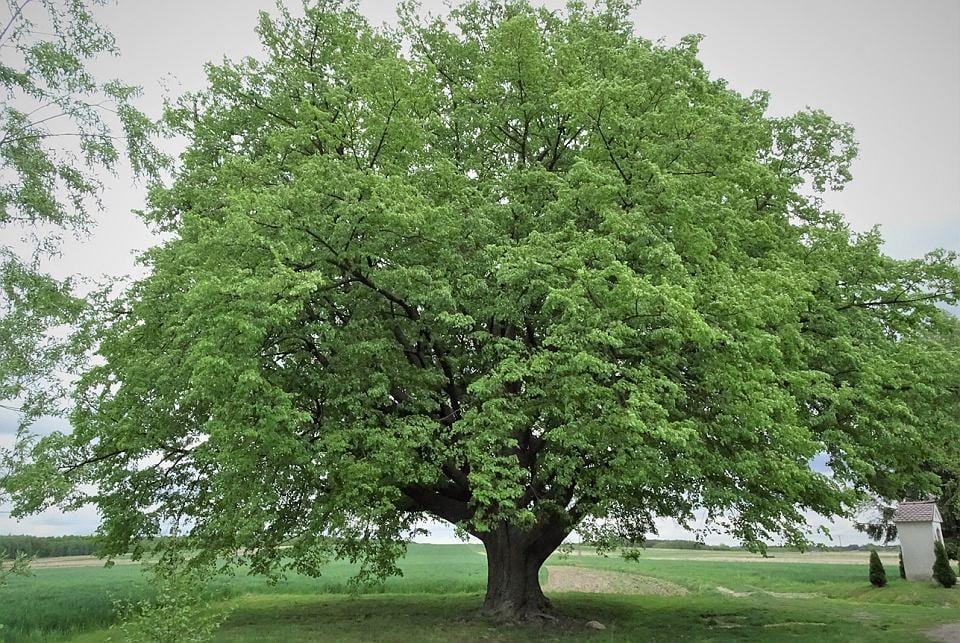 Podkarpacie: Oddaj głos na europejskie drzewo roku  - Zdjęcie główne