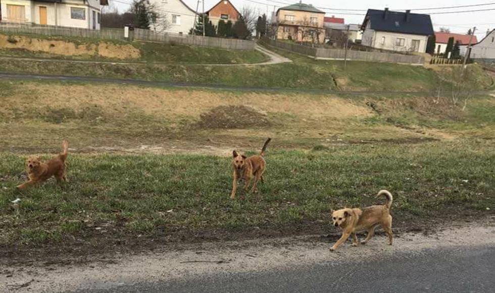 Sołtysi z gminy Kolbuszowa wypowiadają wojnę wałęsającym się psom - Zdjęcie główne