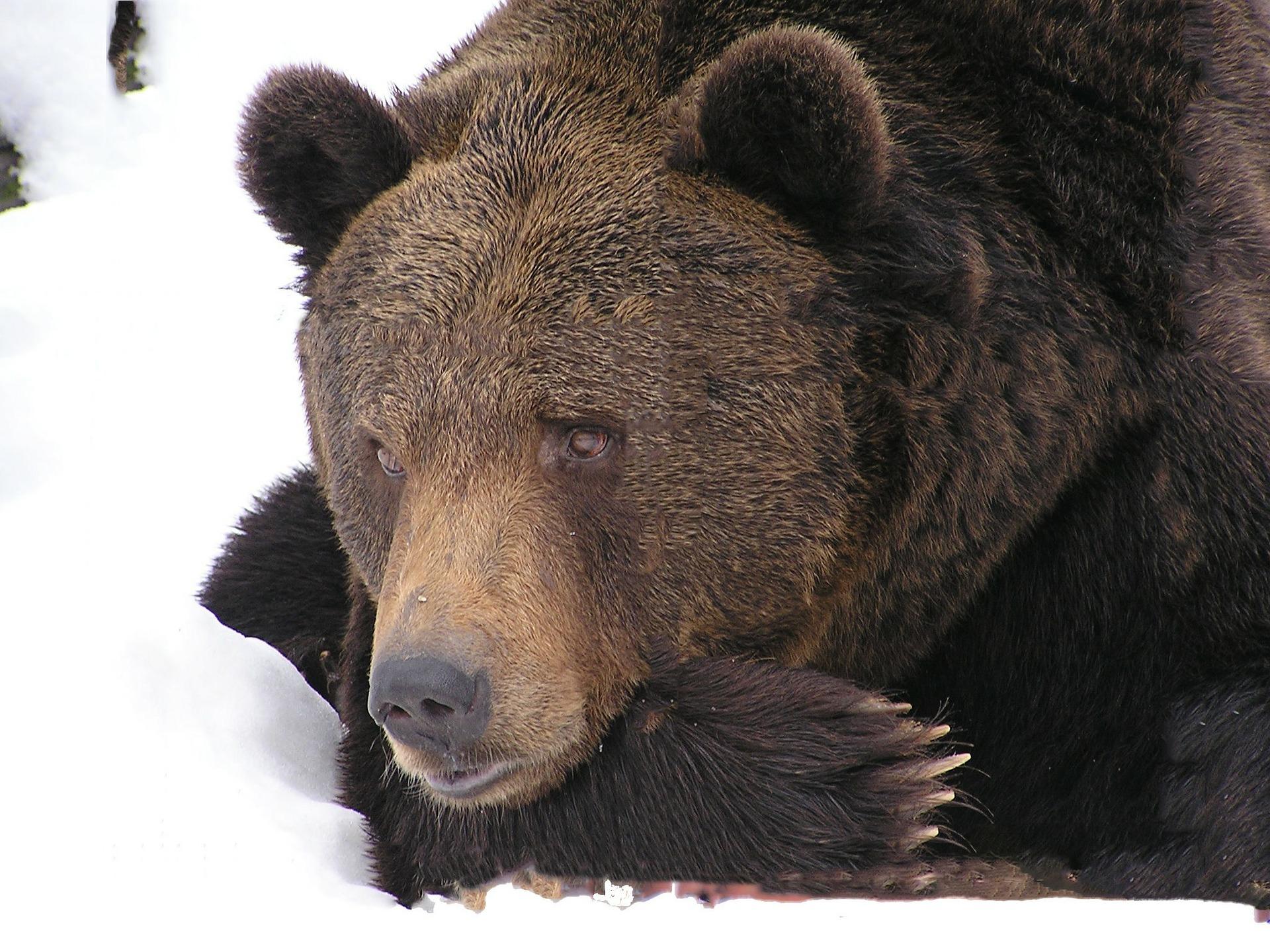 Podkarpackie niedźwiedzie w końcu zasnęły - Zdjęcie główne