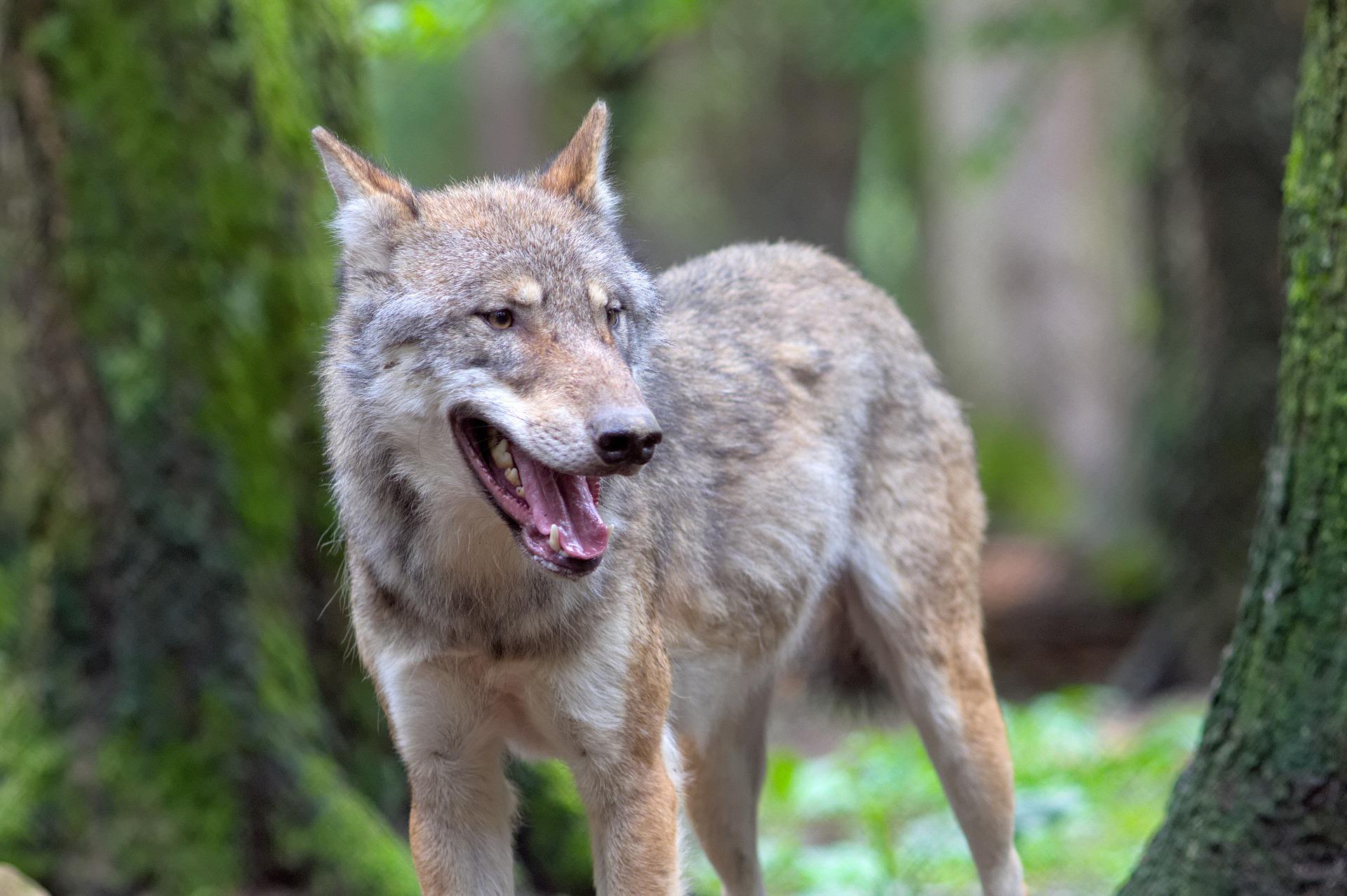 Wilki na terenie powiatu kolbuszowskiego. Urząd ostrzega mieszkańców  - Zdjęcie główne