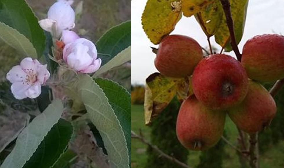 W Kupnie jabłoń zrodziła owoce. - Taka piękna wiosna tej jesieni - mówi nasza Czytelniczka - Zdjęcie główne